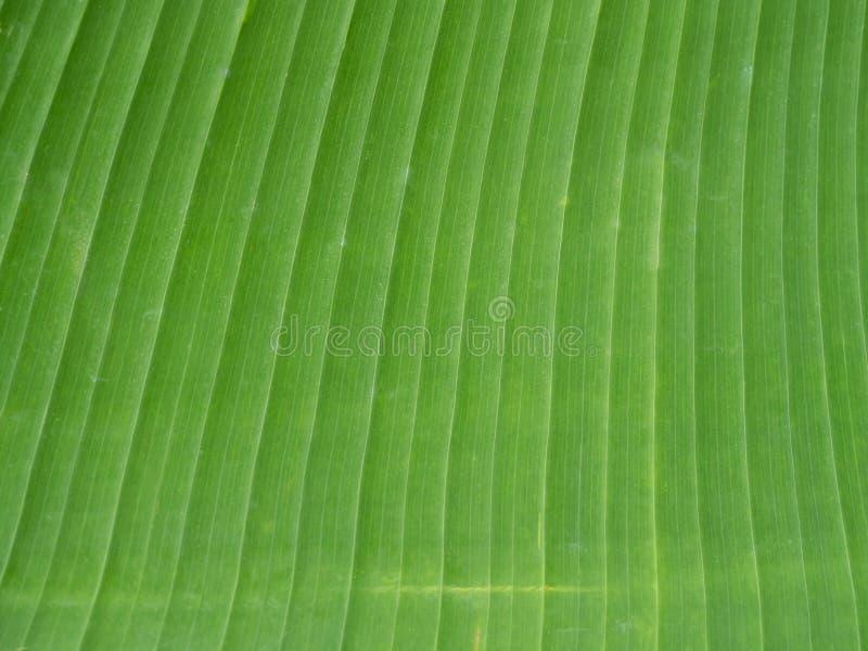 Texture de feuille de banane image stock
