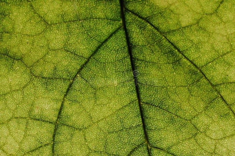 Texture de feuille sur l'arbre feuillu contre le soleil direct photo stock