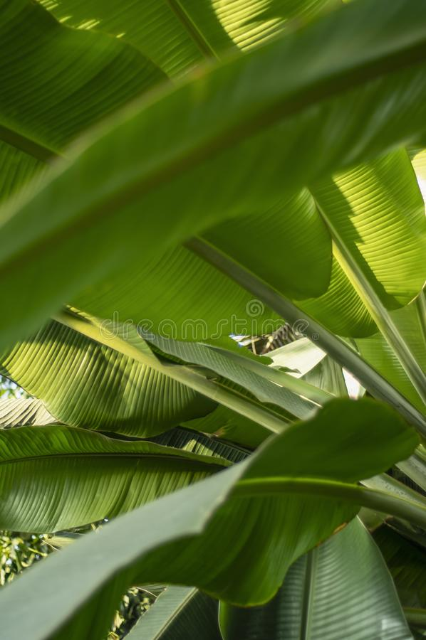 Texture de feuille tropicale de banane, grand feuillage de paume photo stock