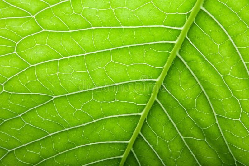 Download Texture De Feuille Verte Fraîche Pour Le Fond Naturel Photo stock - Image du botanique, élément: 77151976