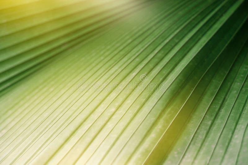 Texture de feuilles tropicales vertes, fond rayé vert frais de la nature photographie stock libre de droits