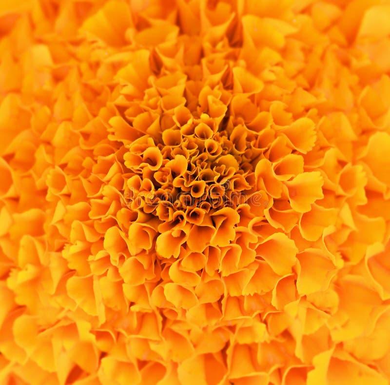 Texture de fleur orange d'erecta de tagetes image stock