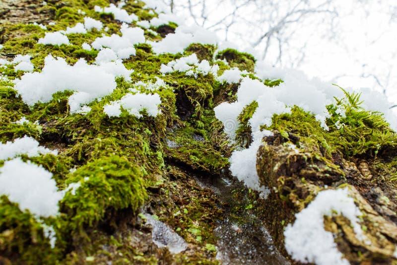 Texture de fond de la mousse sur l'écorce d'un arbre avec la neige pendant le jour d'hiver lumineux photographie stock libre de droits