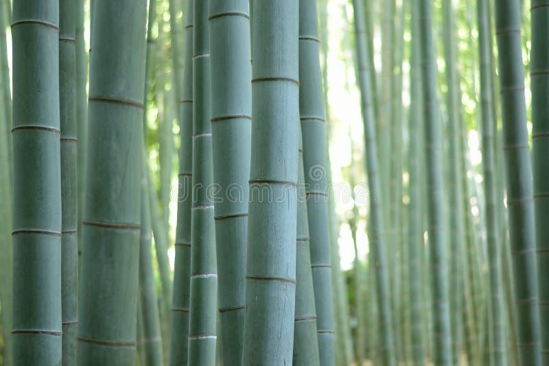 Texture de fond de forêt en bambou verte japonaise photo stock