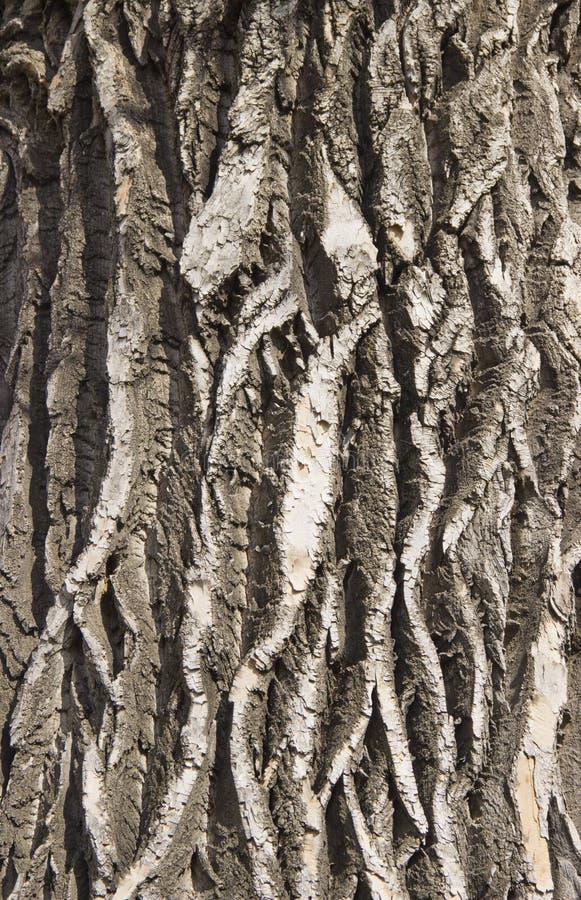 texture de l'?corce d'un arbre ?ternel photo libre de droits