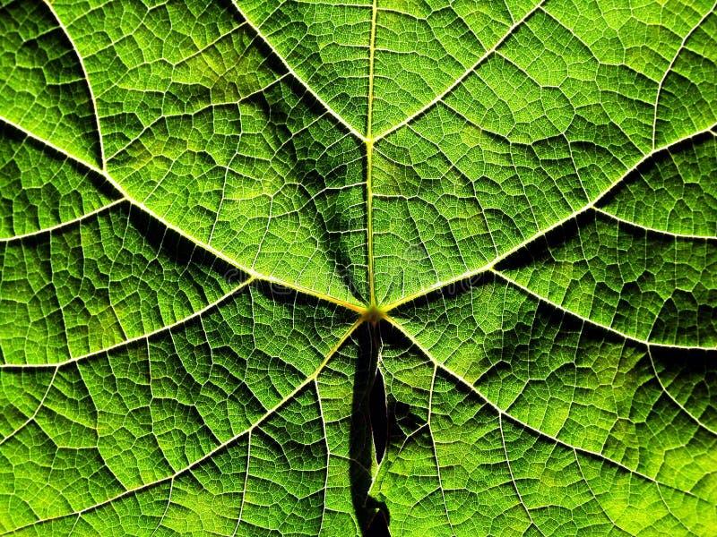 Texture de lame de vigne photo stock