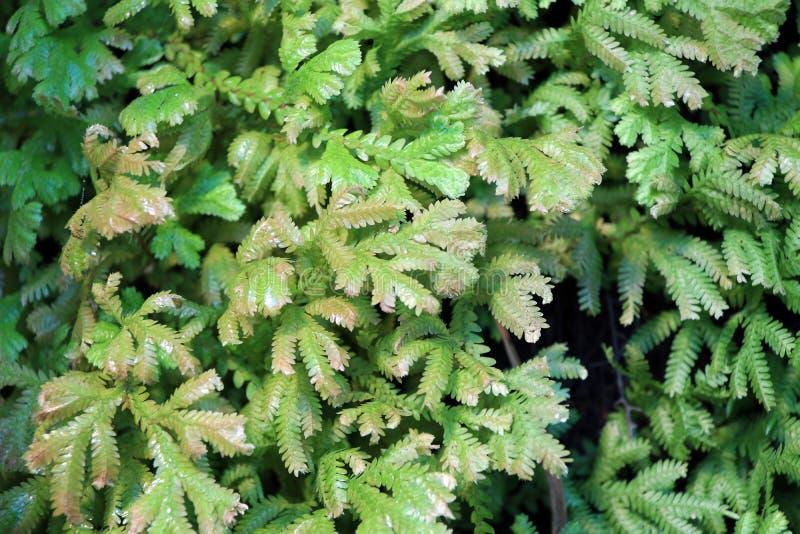Texture de mini usine verte de fougère Belle feuille de fougère pour le fond image libre de droits