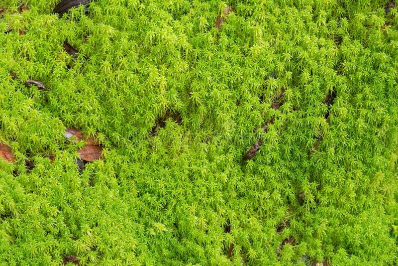 Texture de mousse de tourbe verte fraîche, mousse de sphaigne s'élevant dans le f images stock