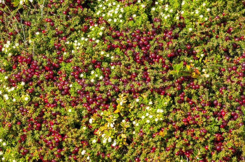 Texture de mousse et de fleurs de toundra photo stock