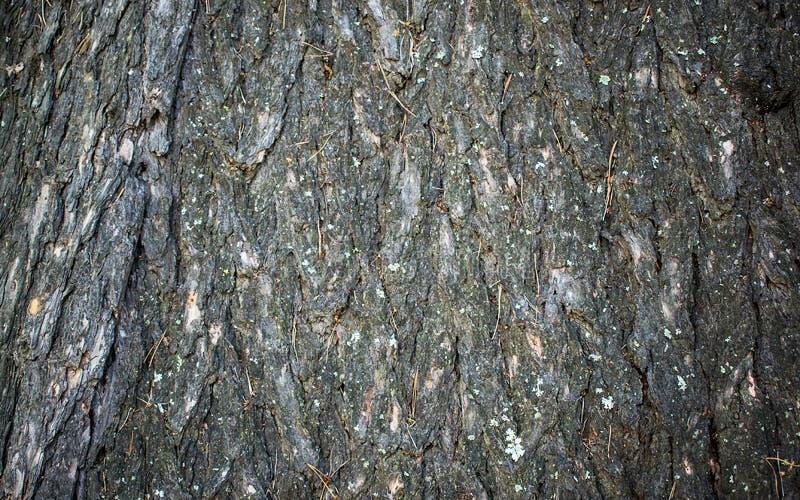 Texture de relief de l'?corce brune d'un arbre avec de la mousse et le lichen verts l?-dessus Panorama circulaire augment? de l'? photo stock