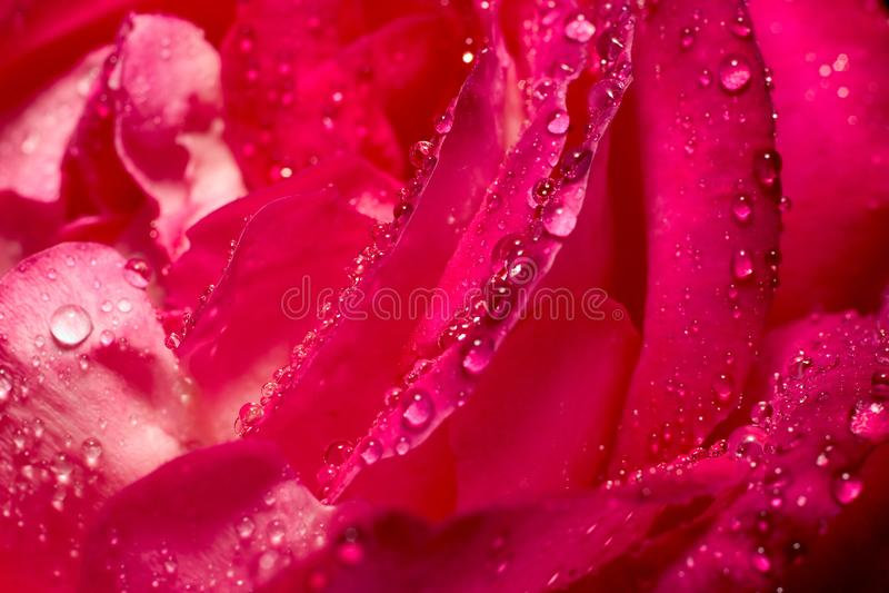 Texture de Rose image libre de droits