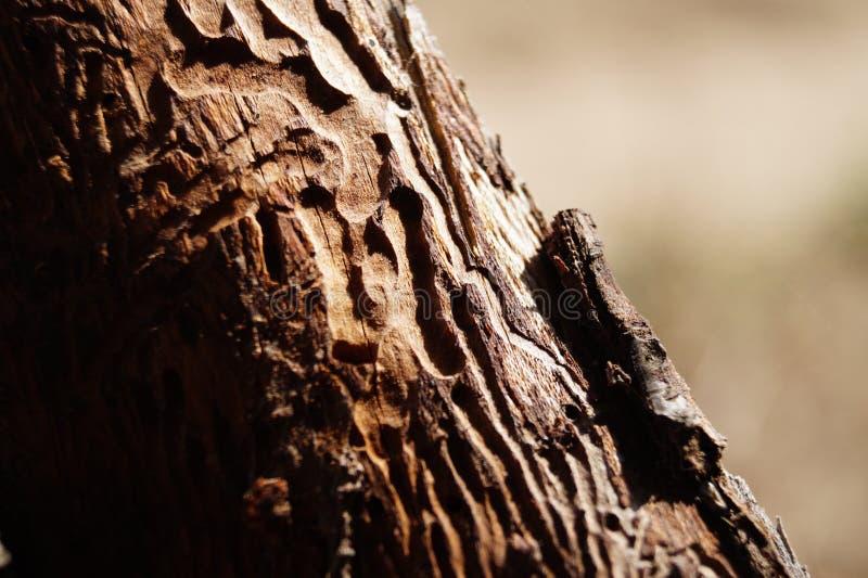 Texture de scarabée d'écorce de vue de plan rapproché images libres de droits