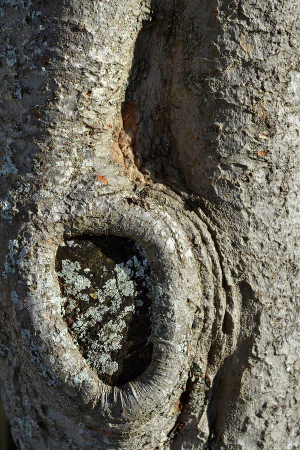 Texture de tronc d'arbre avec le noeud photographie stock