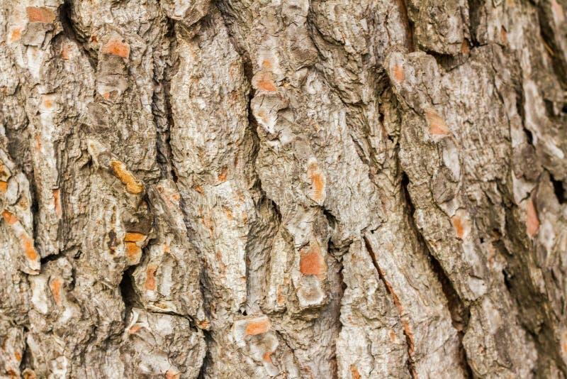 Texture de tronc de pin photo stock