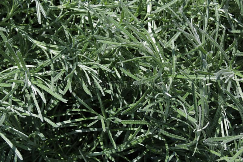 Texture des feuilles d'italicum de Helichrysum d'usine de cari photographie stock