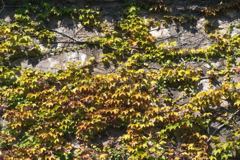 Texture des feuilles de lierre sur un mur en pierre, concept de vieilles villes, maisons, b?timents, v?g?tation sur le b?ton, end photographie stock libre de droits