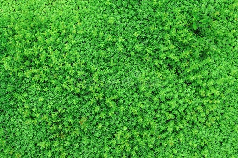 Texture des plantes vertes avec de petites feuilles pour le fond images libres de droits