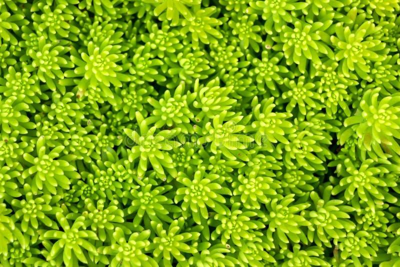 Texture des usines succulentes vertes photos libres de droits