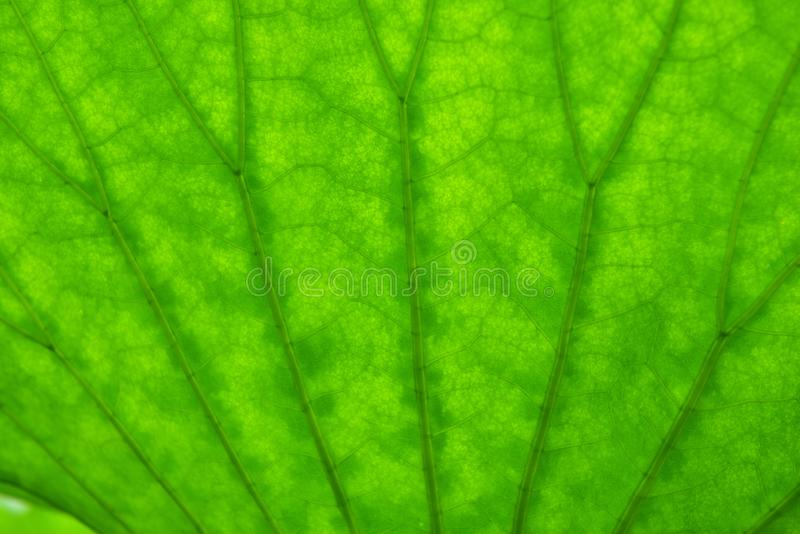 Texture details of a lotus leaf. Photographed by backlighting stock photo