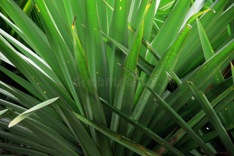 Texture details of Pandanus leaves. close up details of Pandanus leaves. Texture details of Pandan leaves. Natural view of pandan leaves royalty free stock photos