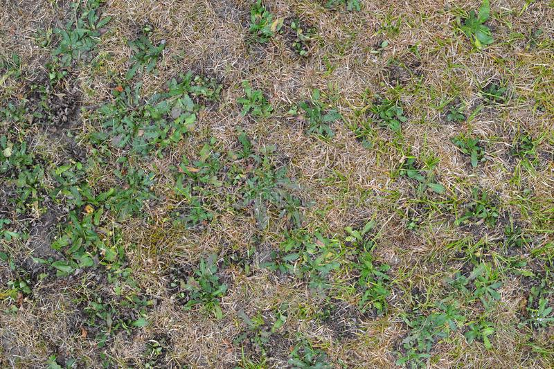 Texture 9915 - dry grass. Texture of dry and bald grass in the park royalty free stock images