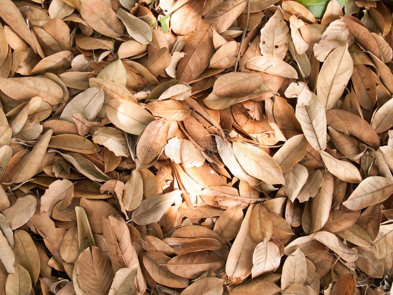 Texture of dry leaves use for backgrounds images.  stock image