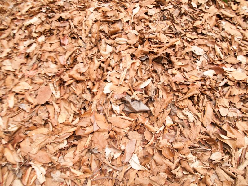 Texture of dry leaves use for backgrounds images.  royalty free stock photography
