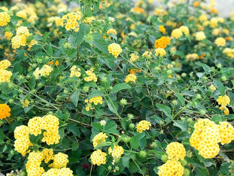 Texture du beau champ jaune de petites fleurs avec les feuilles vertes Le fond photos libres de droits