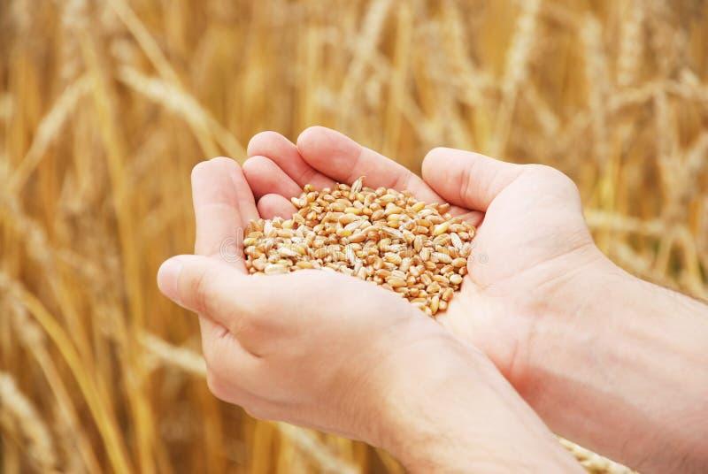 Texture du blé dans des mains de la personne photographie stock libre de droits