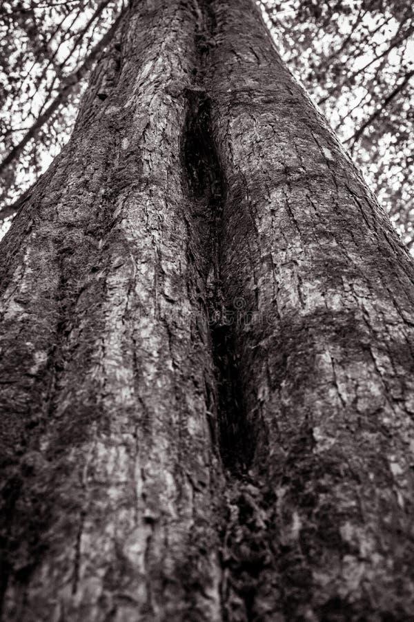 Texture du grand arbre dans le ton noir et blanc photo libre de droits