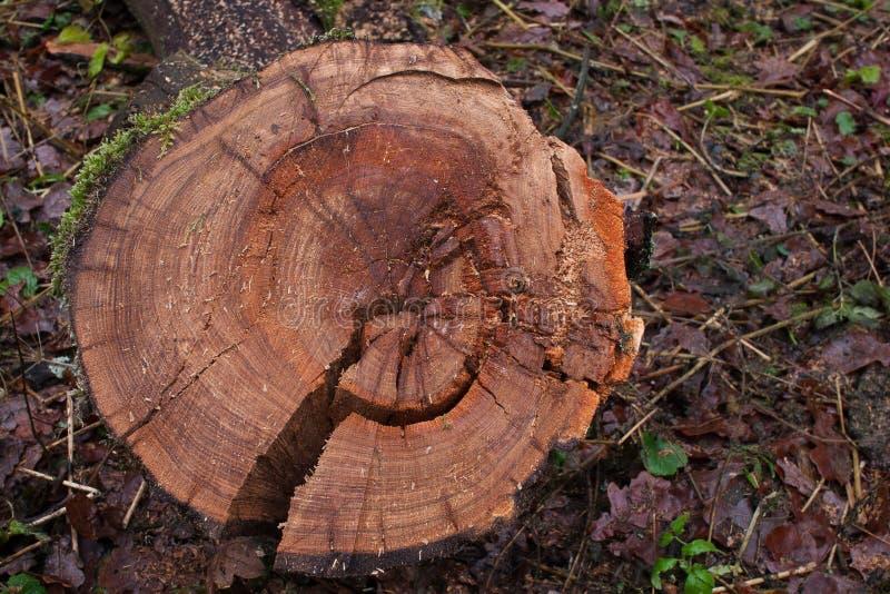 Texture en coupe en bois de chêne photos stock