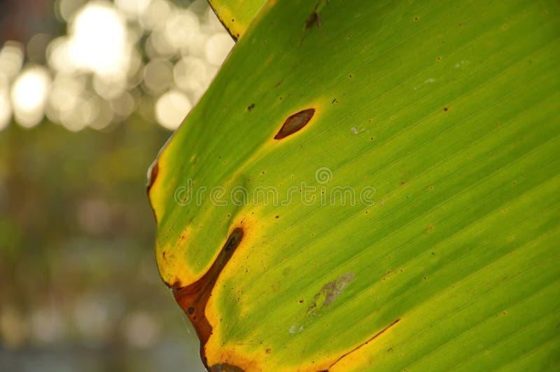 Download Texture Et Fond Secs De Feuille De Banane Dans Le Jardin Image stock - Image du chlorophylle, lame: 87706443