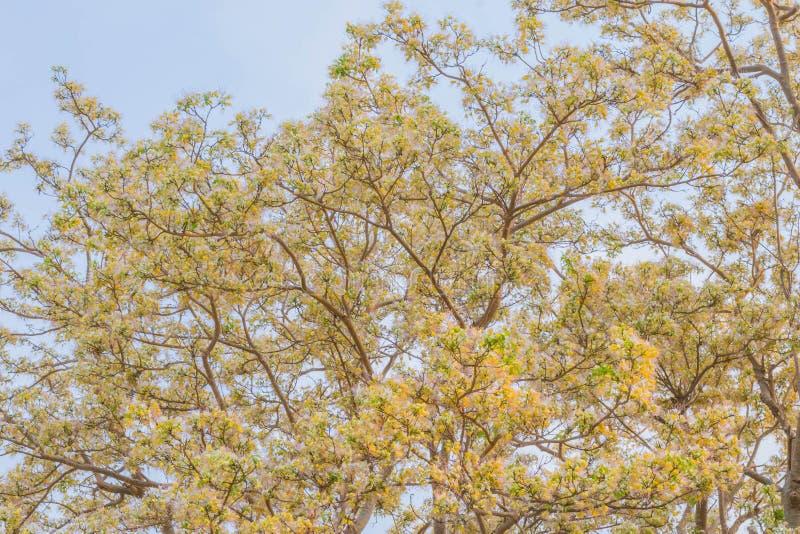 Texture extérieure de religiosa de Crataeva, de Crateva, Capparaceae, plante de fleur, nourriture végétale de fines herbes et loc images stock