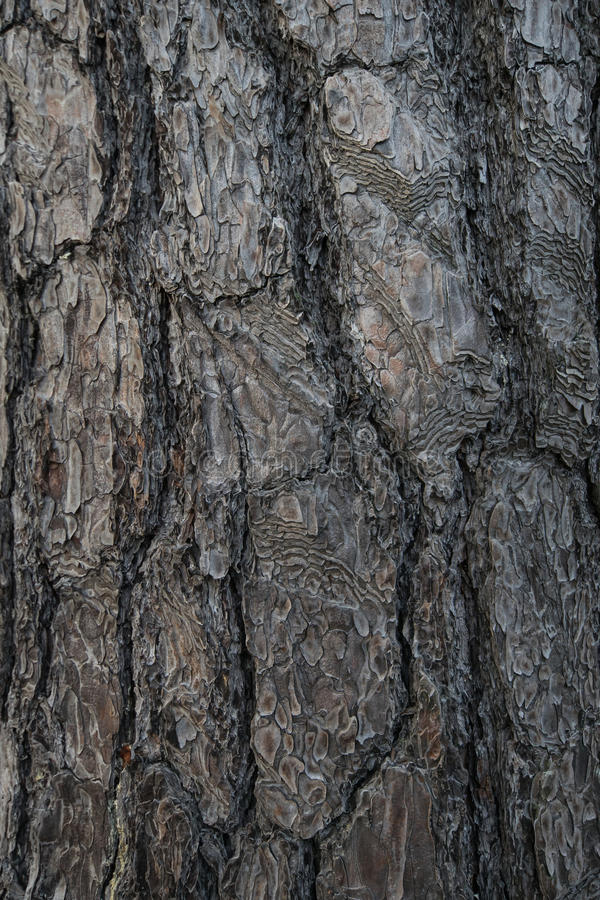 Texture fir-tree in the forest royalty free stock images