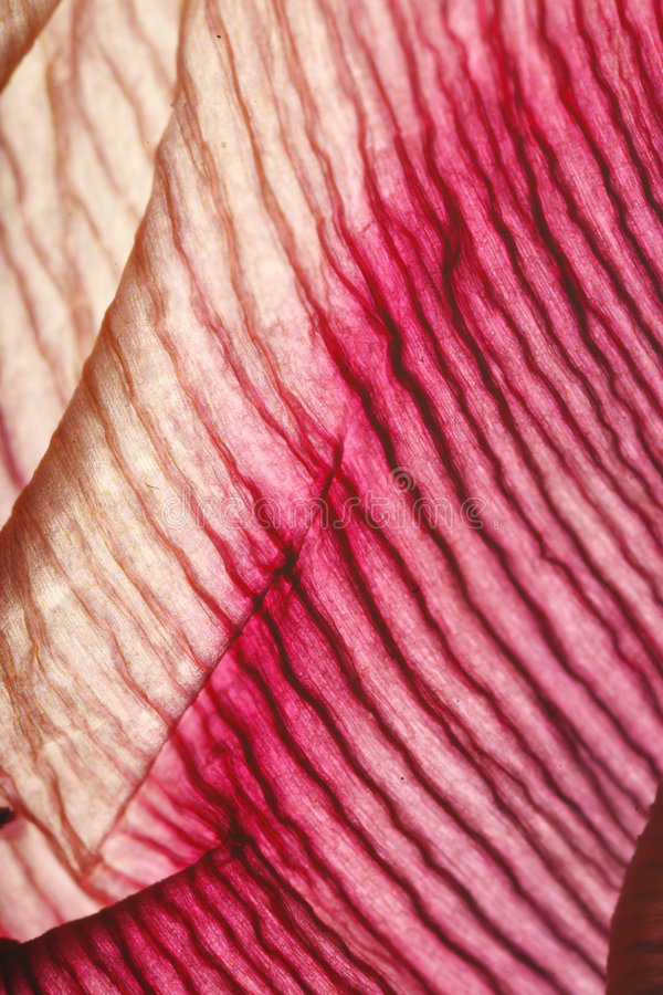 Texture Of Flower Petal Royalty Free Stock Image