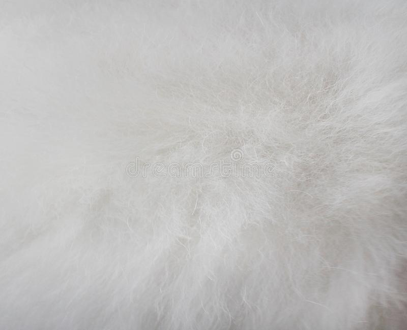 Texture fluffy fur white dog abstract for background , Natural animal patterns skin stock photo