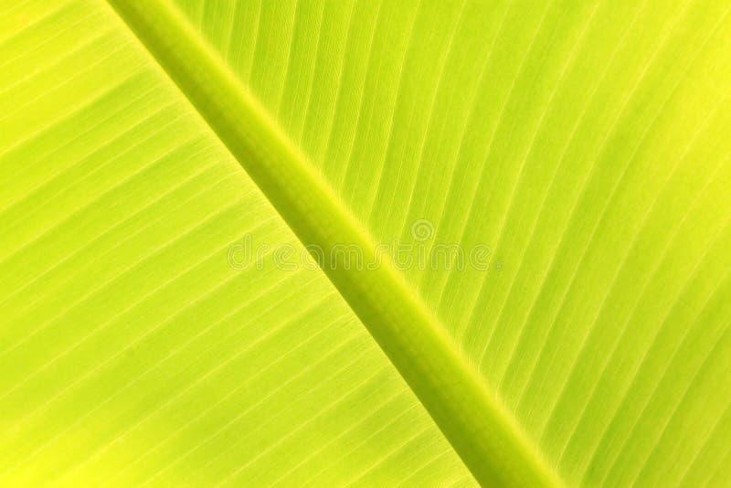 Texture fraîche verte de feuille de banane image libre de droits