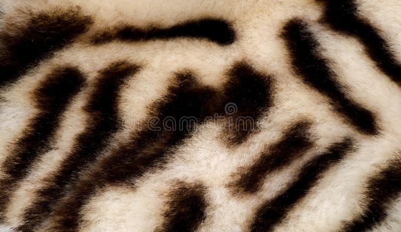 Texture, fur, Figure. Painted sheepskin under the leopard. a sheep`s skin with the wool on. cover the surface of something with. Paint, as decoration or royalty free stock photos