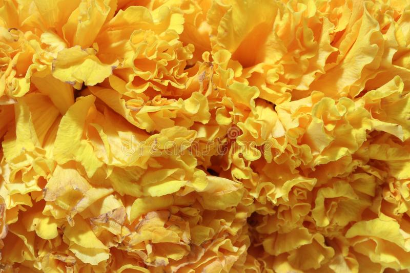 Texture of garland marigold petal flower, a plant of the daisy family. royalty free stock images