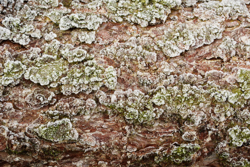 Texture gelée d'écorce de mélèze photo libre de droits