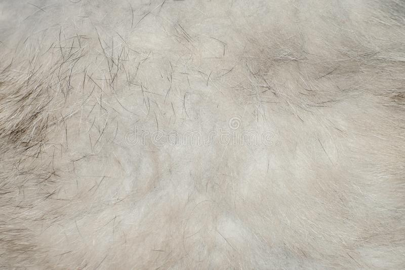 The texture of gray wool Fox belly royalty free stock image