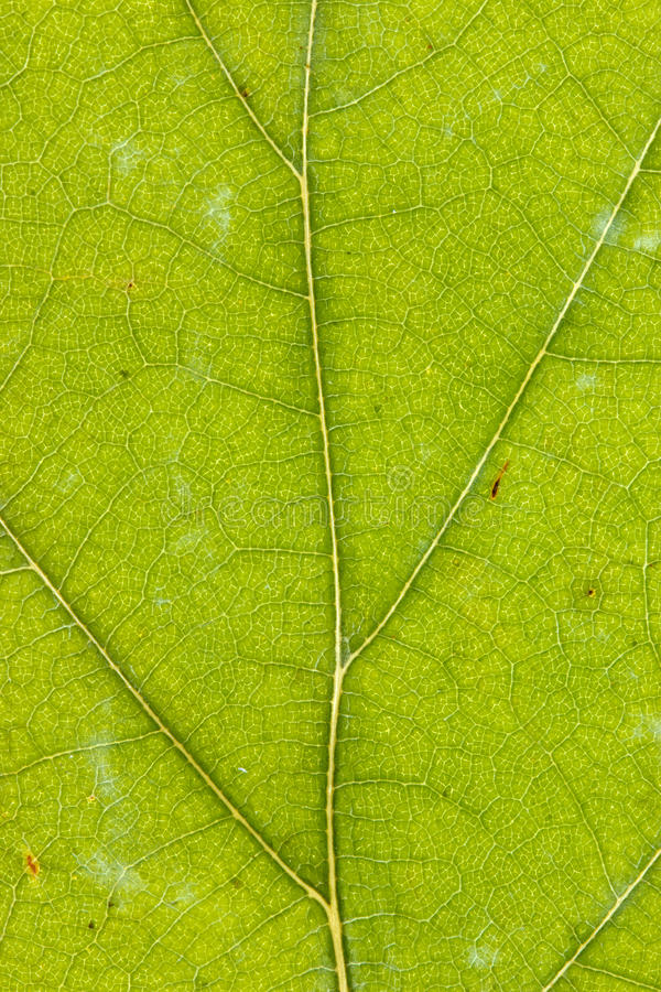 Download Texture of green dry leaf stock photo. Image of element - 24516268