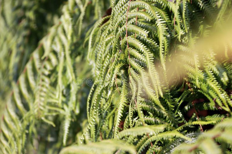 Texture green fern plant. pattern of fern leaves. it is a flowerless plant that has feathery or leafy fronds. royalty free stock image