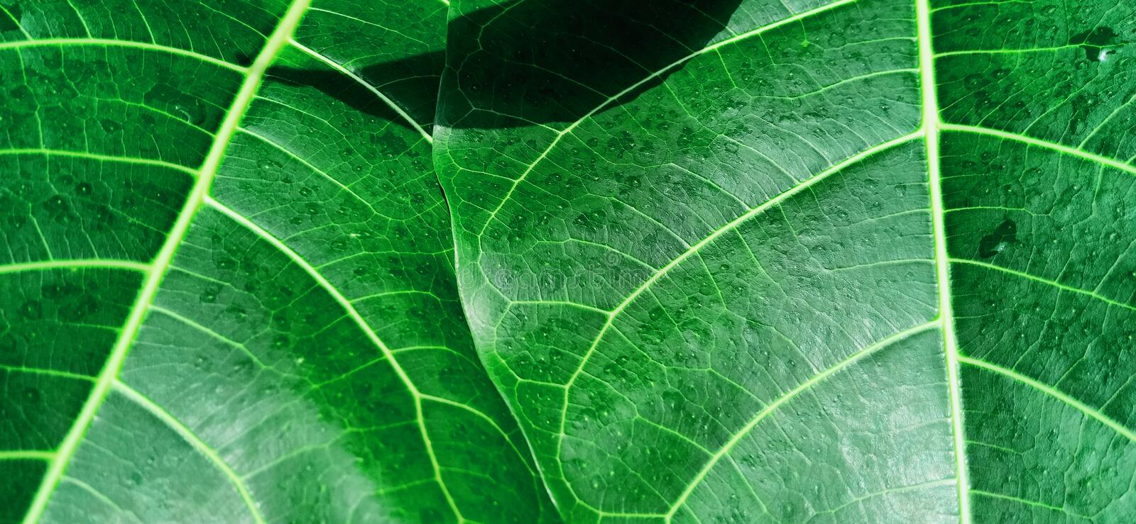 Texture Green leaves at the morning royalty free stock photos