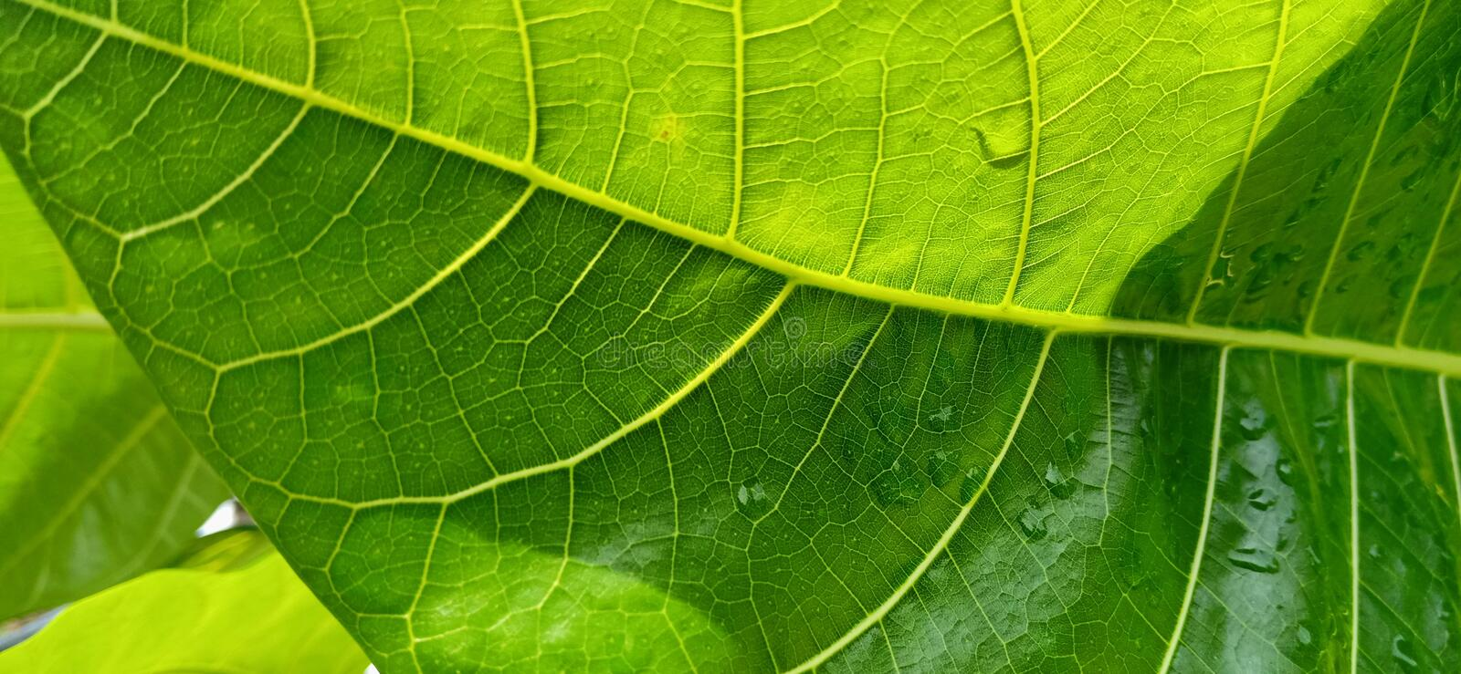Texture green  foliage in sunnyday royalty free stock image