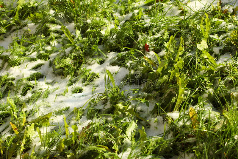 Texture of green grass with snow. Spring. Close-up of green grass covered by snow Spring, snow melting stock images