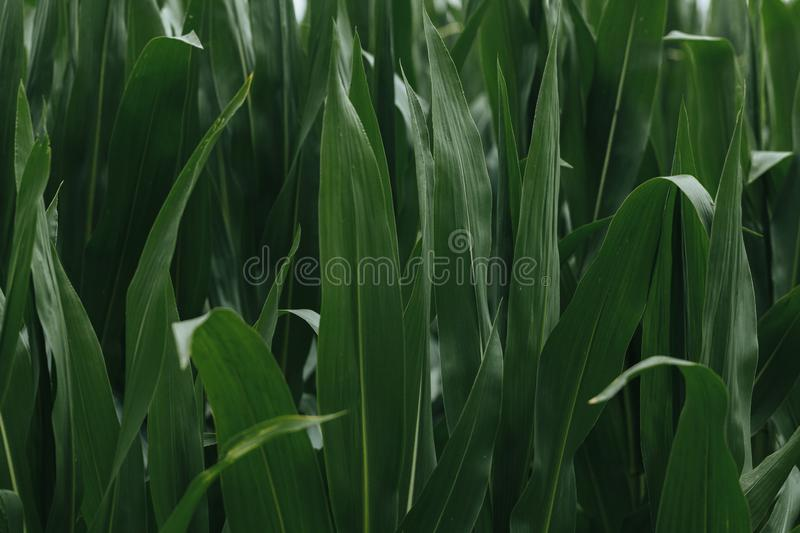 Leaves in a corn field background wallpaper stock photo