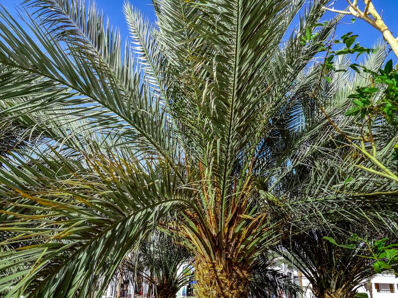 Texture with green palm leaves on a background of blue sky. Top of palm tree close-up, beautiful natural tropical pattern stock photo
