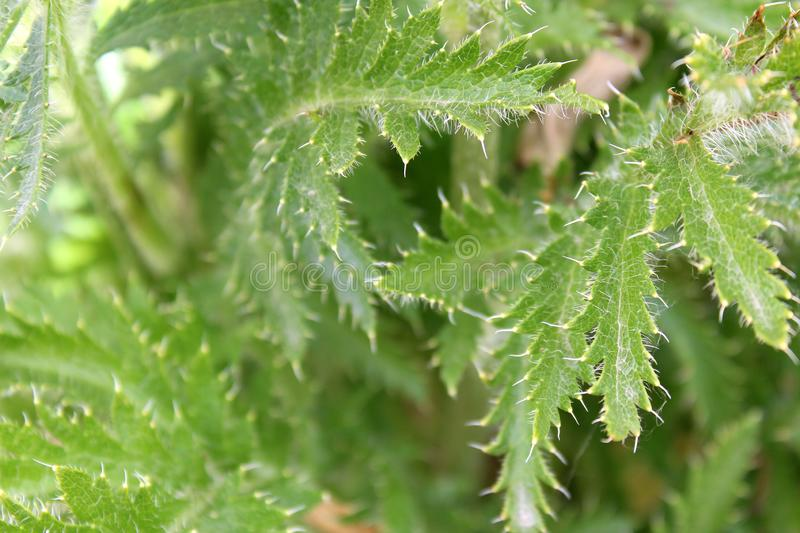 Texture green poppy leaves outdoors in spiky appearance stock image