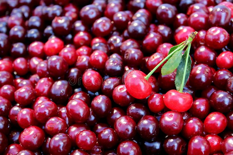 Texture image of fresh summer berries of ripe juicy cherry. Cherry, juicy, ripe, dark, burgundy, texture, scattered, leaves, summer, season, background picture royalty free stock photo
